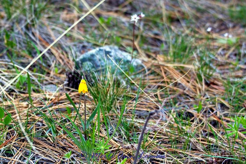 """4/18/2012 Yellowbells - Fritillaria pudica, <a href=""""http://fieldguide.mt.gov/detail_PMLIL0V0G0.aspx"""">http://fieldguide.mt.gov/detail_PMLIL0V0G0.aspx</a>"""
