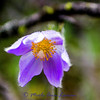 4/26/2012  Pasqueflower - Anemone patens
