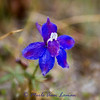4/28/2012 First sighting south of Sweathouse Creek. Little Larkspur - Delphinium