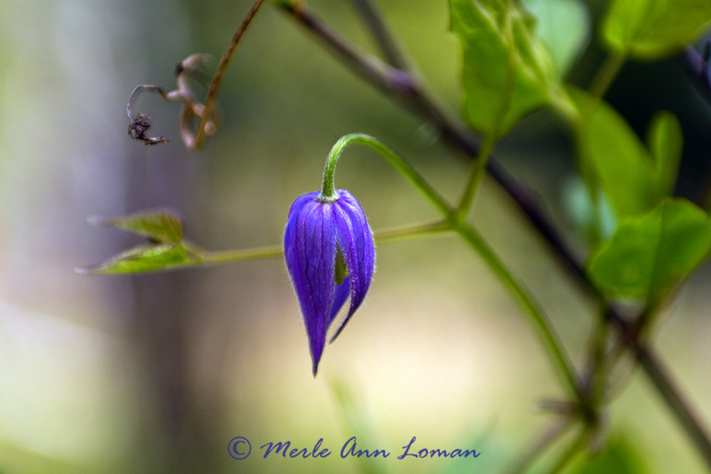 "4/29/2012 Purple Clematis - Clematis occidentalis - <a href=""http://fieldguide.mt.gov/detail_PDRAN080J0.aspx"">http://fieldguide.mt.gov/detail_PDRAN080J0.aspx</a>"