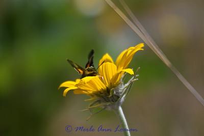 4/26/2012 Arrowleaf Balsamroot - Balsamorhiza sagittata
