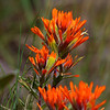 4/26/2012 Indian Paint Brush – Castilleja sp.
