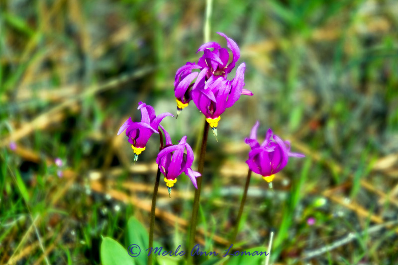"4/18/2012 Few-flower Shootingstar - Dodecatheon pulchellum, <a href=""http://fieldguide.mt.gov/detail_PDPRI030D0.aspx"">http://fieldguide.mt.gov/detail_PDPRI030D0.aspx</a>"
