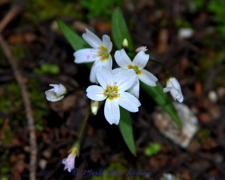 Western Spring Beauty lanceolate blades   claytonia caroliniana I think