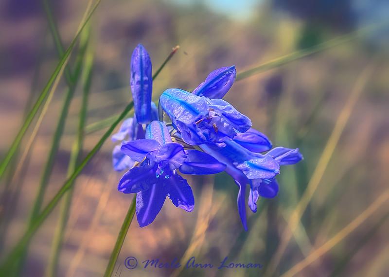 Wild Hyacinth - Triteleia grandiflora IMG_4689