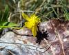 Buttercup - Ranunculus