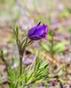 Pasqueflower - Anemone patens