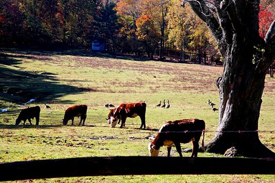Jersey Cows Enjoying A Warm Fall Afternoon