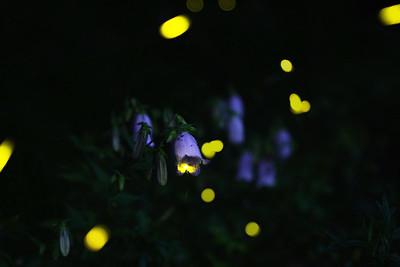Firefly2017-25