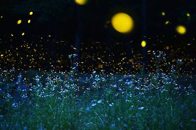 ヒメジュオンとヒメボタル 愛媛県 (Firefly2017-09)