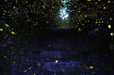 イルミネーションロード、ヒメボタル (Firefly2017-12)