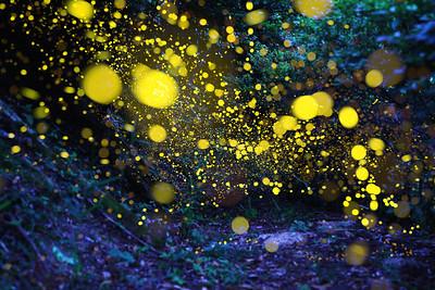 ヒメボタルの森 愛媛県 (Firefly2017-14)