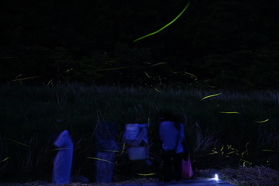 ゲンジボタル 愛媛県東温市 (Firefly2017-08)