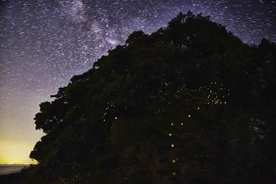ヒメボタルの島, 愛媛県 (Firefly2017-04)