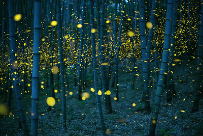 Enchanted Bamboo Forest, 魅惑の竹林 愛媛県 (Firefly2017-16)