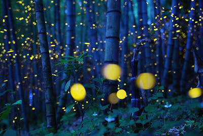 Enchanted Bamboo Forest, 魅惑の竹林 愛媛県 (Firefly2017-19)
