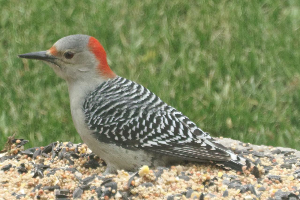 Red-Bellied Woodpecker on the Pedestal025