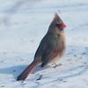Female Cardinal33