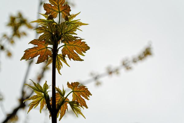 Little Maple Leaves