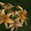 A Bunch of Lilies