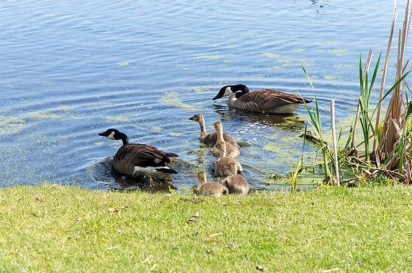 The Geese and the Goslings