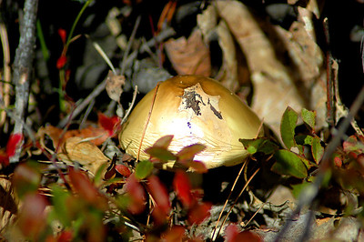 Climbing Mount Major Striking Bright Gold Mushroom