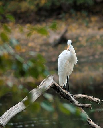 10/5/13 - Great Egret - Dudley Porter Trail