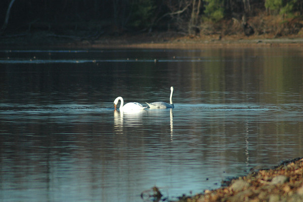 11/16/13 - Swans on Kenoza