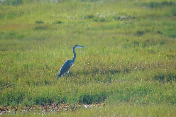 Plum Island - Refuge Road - Great Blue Heron