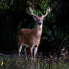26x26 Growing Buck