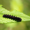 Silver Checkerspot Caterpillar