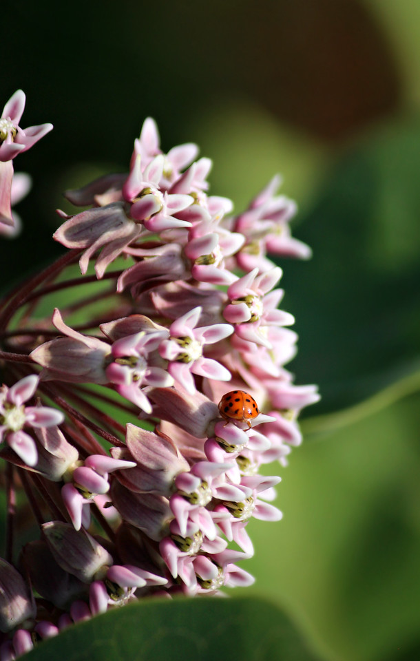 Milkweed On The Menu