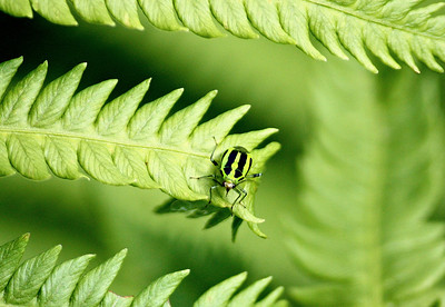 Four Lined Plant Bug