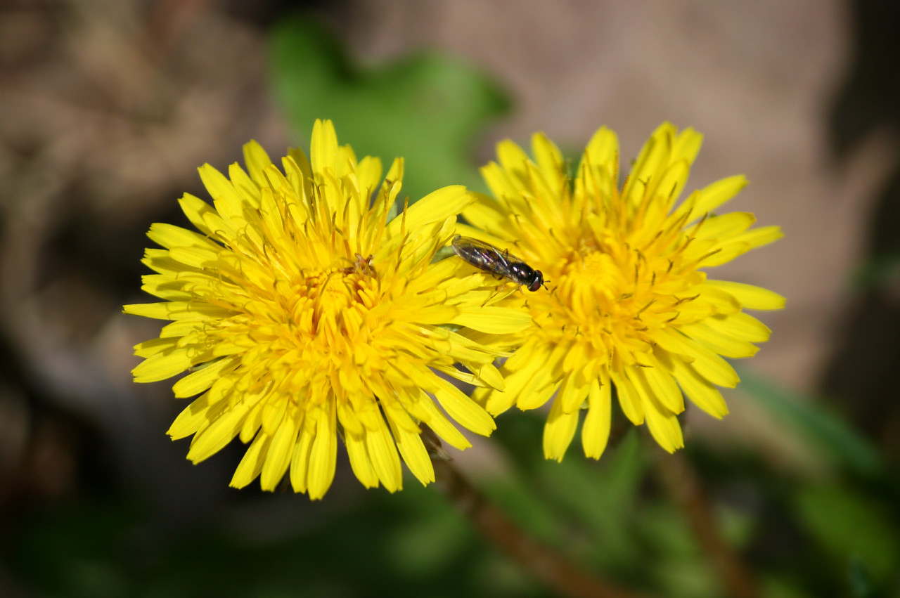 Ceratina On Taraxacum
