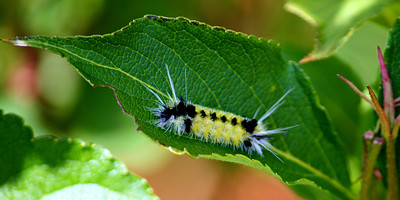 Spotted Tussock Caterpiller