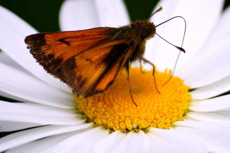 Hobomok Skipper ~ Male