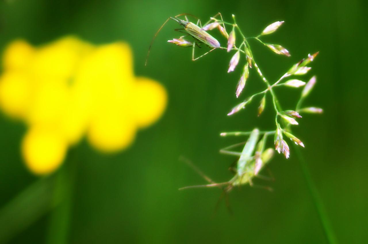 Skinny Plant Bugs