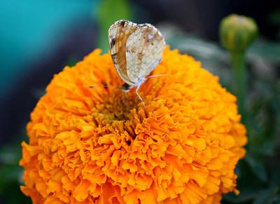 Fritillary On Gold