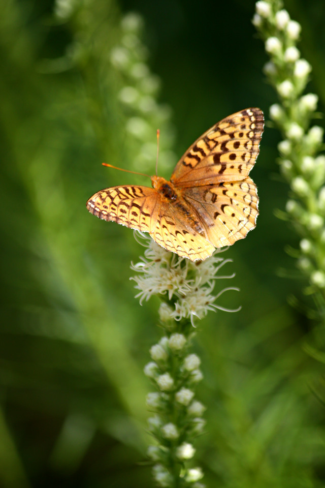 Fritillary On White Blazing Star