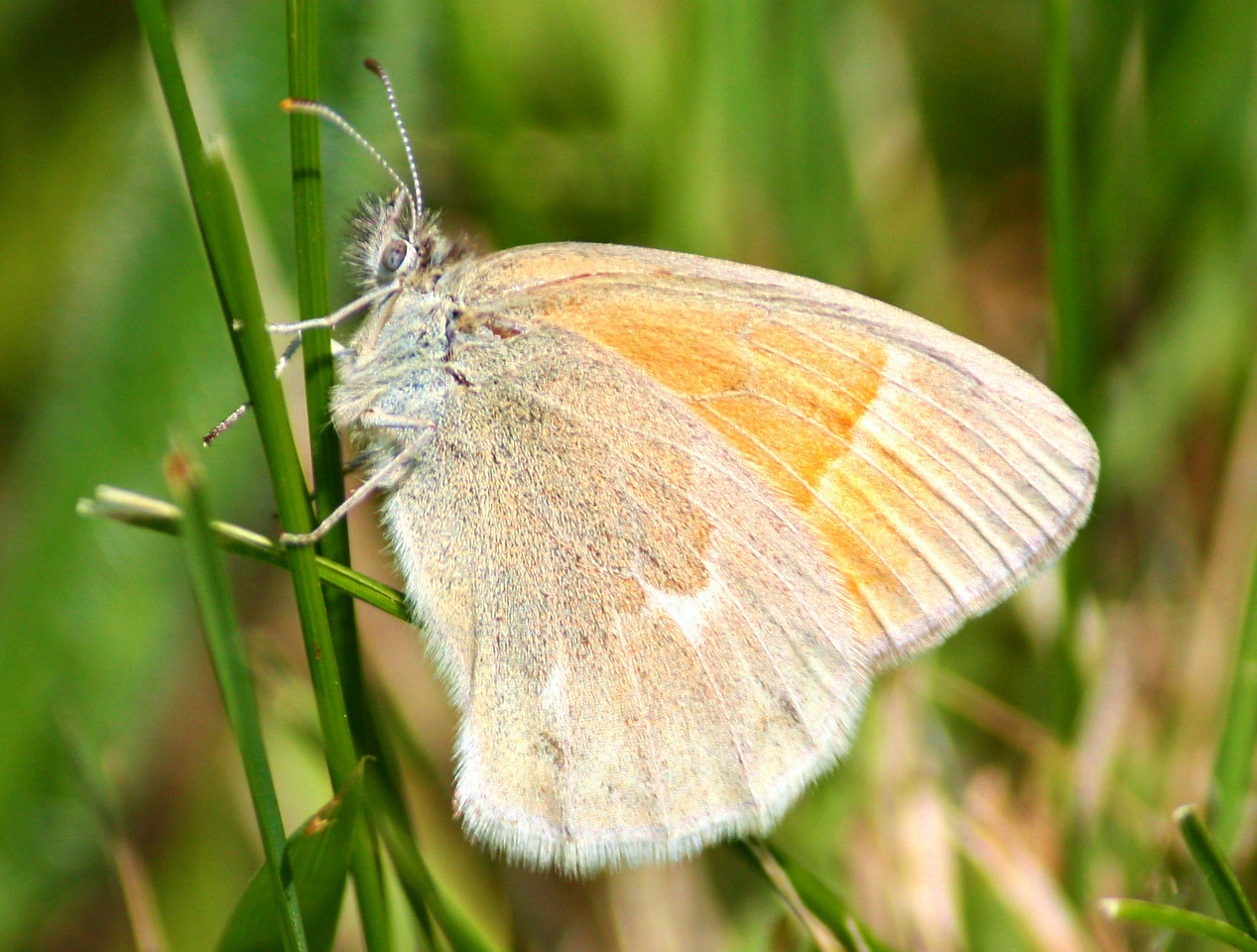 Common Ochre Ringlet