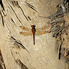 Red Saddlebags Skimmmer