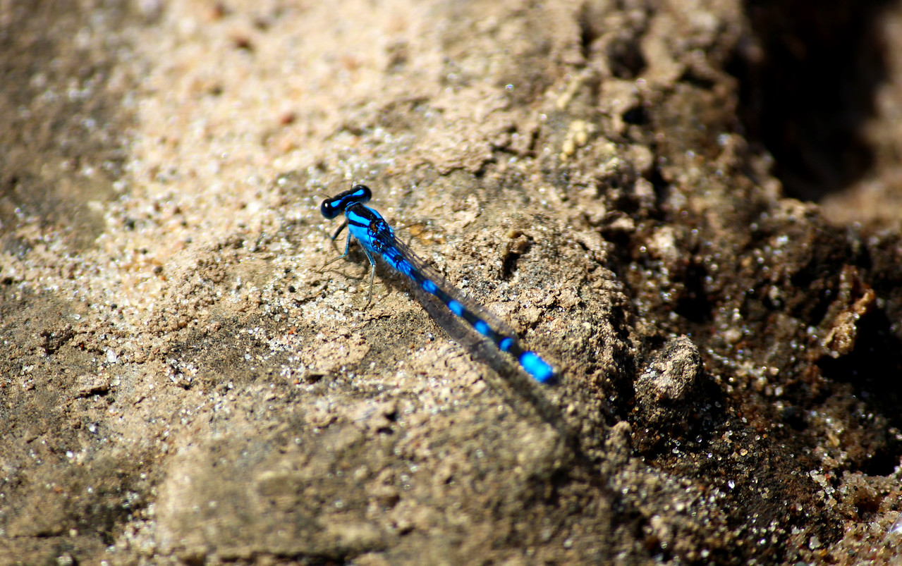 Bluet Damselfly