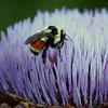 Artichoke Honey
