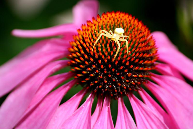 Golendrod Spider