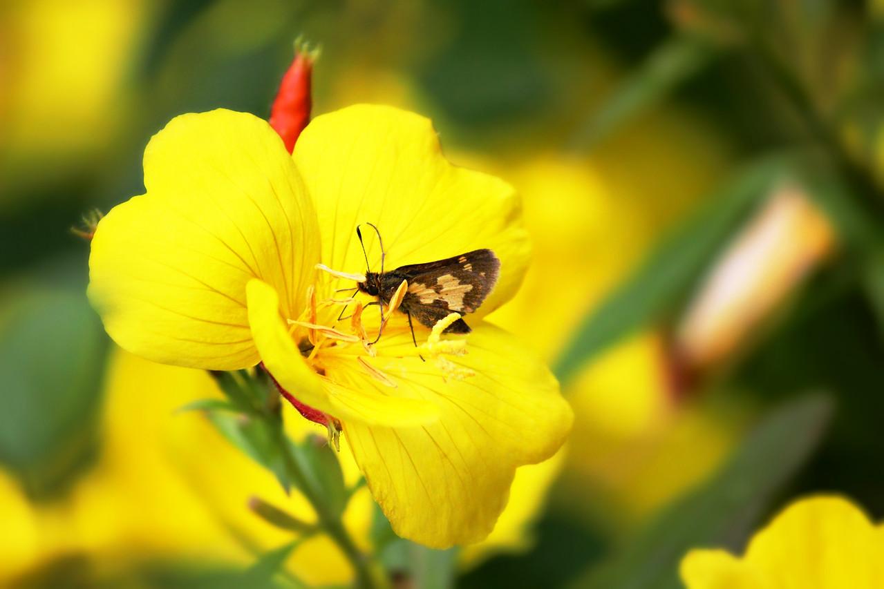 Hesperiidae Heyday