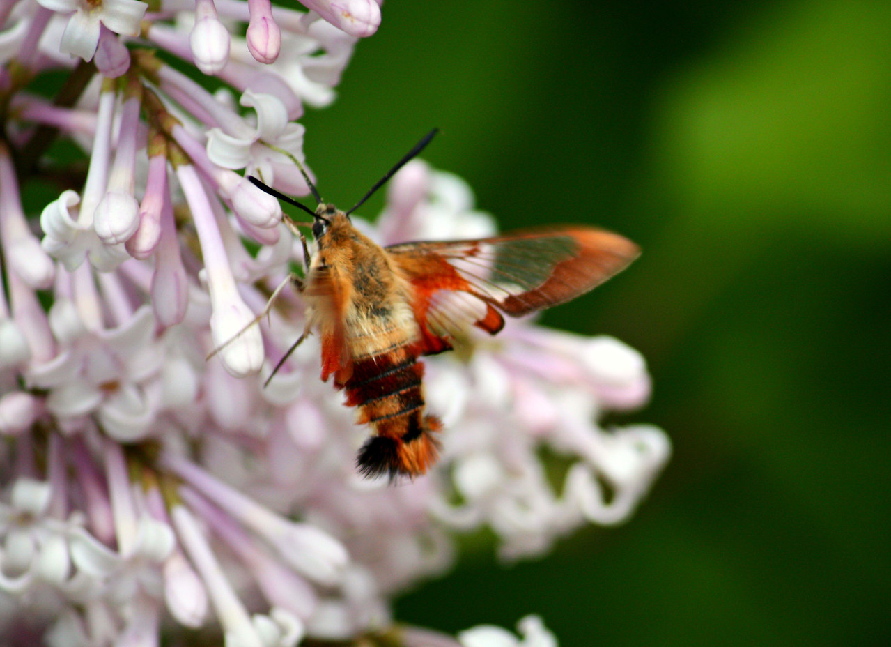 Clearwing Hummingbird Moth