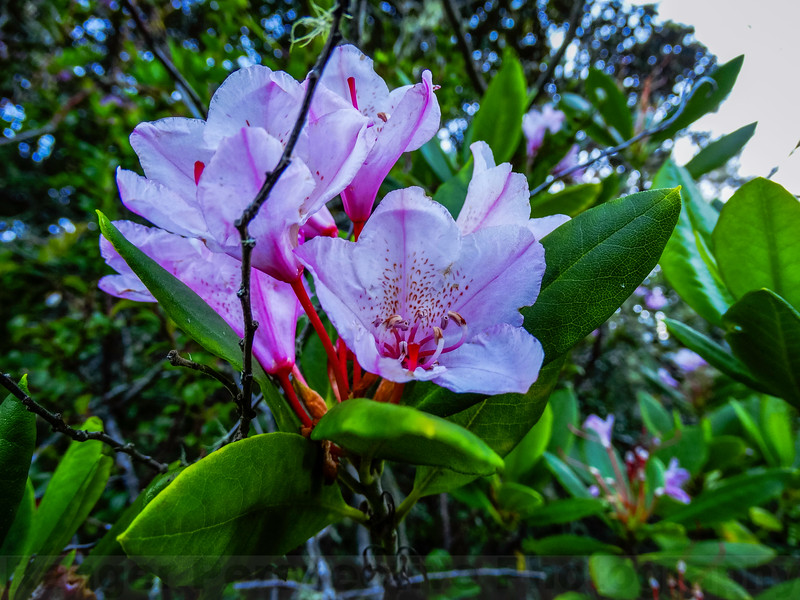 Pacific Rhododendron on Bolinas Ridge