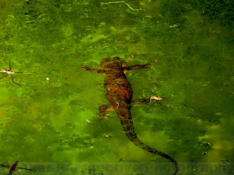 Floating Newt