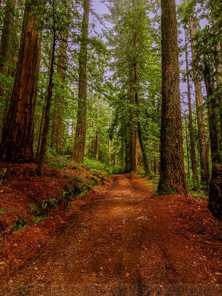Bolinas Ridge Redwoods
