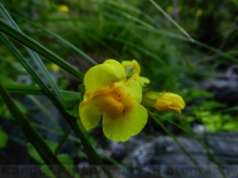 Seep-spring Monkey Flower along Big Carson Creek